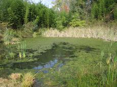 Cottage pond before treatment